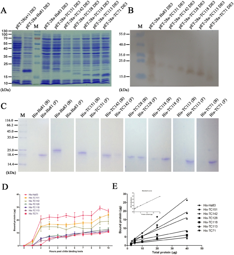 Chitin binding tests on Ha83 and truncated mutants. ( A ) SDS-PAGE investigation of Ha83 and truncated mutants expressed by E. coli BL21(DE3). The protein samples were separated by 15% SDS-PAGE. ( B ) Western blot analyses of Ha83 and truncated mutants expressed by E. coli BL21(DE3). The protein samples were first separated by 10% Tricine-SDS-PAGE and then transferred to a nitrocellulose membrane. A monoclonal anti-His tag antibody (1:4000) (Abcam, GBR) was used as the primary antibodies and the signal was visualized with an Enhanced HRP-DAB Chromogenic Substrate Kit (TIANGEN, CHN). ( C ) Chitin binding tests of Ha83 and truncated mutants incubated with chitin colloid for 16 h at 4 ℃. The bound protein ( B ) and unbound protein in the supernatant ( F ) was first separated by centrifugation then lyophilized and loaded in each lane of a 10% Tricine-SDS-PAGE system. The gels were stained with Coomassie Blue (Sigma). In order to improve the clarity and conciseness, the figures exhibited here were cropped; the full-length gels or blots are presented in Supplementary Figure S2–5 . ( D ) Temporal course of protein samples binding to crab shell chitin. Each chitin binding test was performed in triplicate and average quantity of bound protein was derived from three data measurements for each time point post incubation. Error bars represent the standard deviation. ( E ) Double-reciprocal plot of protein binding to chitin. A standard curve of Ha83 quantity and absorbance figure is zoomed out in the left up corner. The slope and R 2 value of each reciprocal line of protein samples are shown in the table at the bottom of the figure.