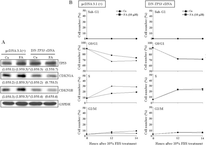 FA induces TP53-dependent up-regulations in CDKN1A and CDKN1B and the G0/G1 arrest in COLO-205. ( A ) Pre-transfection with DN- TP53 cDNA prevented FA-induced increases in the levels of CDKN1A and CDKN1B protein. In the control group, the cell was transfected with pcDNA 3.1(+) expression vector. The gels have been run in the same experimental conditions and the cropped blots were shown. The entire gel pictures of Fig. 2A were shown in the Supplemental Fig. 1B . Values (means ± s.e.mean.) shown in parentheses represent the relative protein abundance of CDKN1A, CDKN1B and TP53, which has been normalized with corresponding G3PDH and expressed as fold of its own control. Three samples were analyzed in each group * p