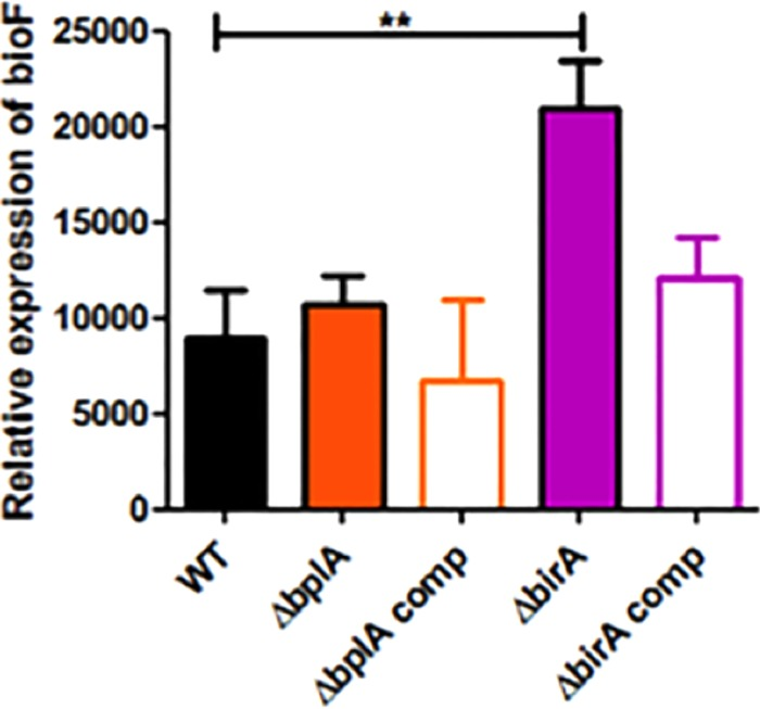 F. novicida BirA represses bioF expression. Expression of bioF in wild-type F. novicida U112 (WT) and the Δ bplA , Δ birA , bplA , and birA trans complemented (comp) strains was measured by quantitative real-time PCR (qRT-PCR) in relation to the housekeeping gene uvrD . **, P