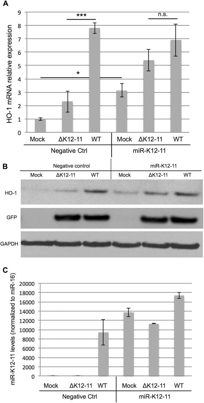 Exogenous expression of miR-K12-11 partially restores HO-1 induction in ΔK12-11 mutant-infected LEC. iLEC were sequentially infected with WT or ΔK12-11 mutant KSHV for 6 days, transfected with a miR-K12-11 mimic, and then incubated for another 24 h. Samples were then harvested and prepared for various HO-1 assays. (A) qPCR analysis. For each sample, the data were normalized to the GAPDH level and the fold change was determined relative to the mock-infected sample ( n = 3). n.s., not significant; ***, P ≤ 0.0001; *, P ≤ 0.05. A one-way ANOVA was used for statistical analysis. (B) WB assay showing HO-1 protein levels. GAPDH was used as a loading control. (C) Demonstration of miR-K12-11 levels as determined by stem-loop qPCR assay. miR-K12-11 levels are normalized to the expression of the internal control miR-16 ( n = 3).