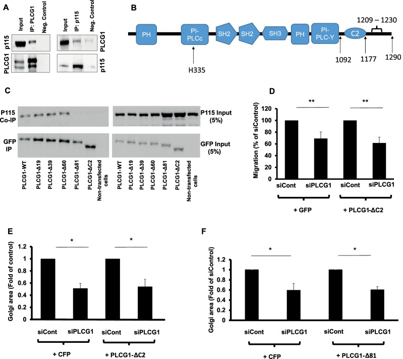 (A) Coimmunoprecipitation of PLCG1 (IP: PLCG1) and p115 (IP: p115) from HeLa cell lysate. Input, the input material of the immunoprecipitation (5%). Neg. Control, the negative control in which the immunoprecipitation was performed in the absence of antibody but in the presence of protein G–Sepharose beads. Immunoprecipitated PLCG1 or p115 was eluted and immunoblotted against p115 and PLCG1, respectively (upper gel). Blots were stripped and immunoblotted against PLCG1 and p115 (lower gel). (B) Schematic depiction of the domains in PLCG1. (C) HeLa cells were transfected with a plasmid encoding wild-type GFP-tagged PLCG1 (PLCG1-WT) or truncation mutants lacking 19, 39, 60, and 81 C-terminal amino acids (PLCG1-Δ19, -Δ39, -Δ60, and -Δ81, respectively). In addition, a truncation mutant lacking the C2 domain was also used (PLCG1-ΔC2). After 24 h, cells were lysed and the lysate subjected to immunoprecipitation with GFP-tap beads (ChromoTek). The immunoprecipitated material was subjected to SDS–PAGE and immunoblotted against p115. The blot was stripped and probed with an antibody against GFP (to detect PLCG1). (D) HeLa cells were transfected with the indicated siRNAs. After 48 h, cells were transfected with plasmids encoding either GFP or GFP-tagged PLCG1-ΔC2. After 8 h, cells were plated into ibidi migration inserts. Cell migration was initiated by removing the insert, and cells were allowed to migrate for 18 h. (E, F) HeLa cells were transfected with the indicated siRNAs. After 48 h, cells were transfected with plasmids encoding GFP or GFP-tagged PLCG1-ΔC2 (E) or PLCG1-Δ81 (F). Asterisks indicate statistically significant differences from control (* p