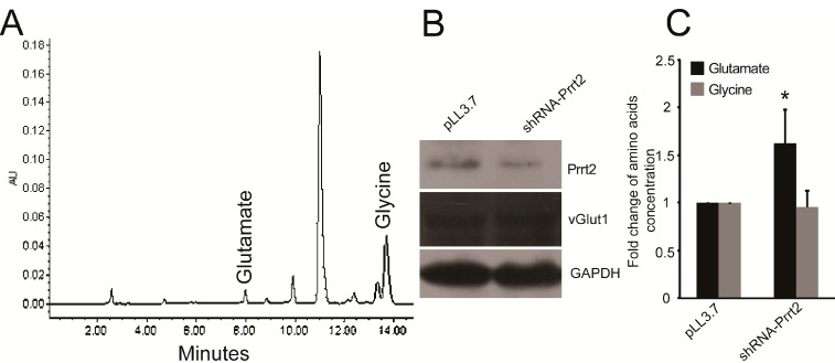 Knocking down Prrt2 increased glutamate level in the culture medium. ( A ) Representative HPLC chromatogram of glutamate and glycine in the culture medium; ( B ) Western blotting analysis was used to show the knockdown efficiency and the protein level of vGlut1 of both groups; ( C ) Summarized data (mean ± SD, n = 4) showed the level of glutamate and glycine detected by HPLC. * p