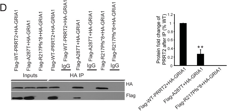 Mutant PRRT2 interfered interactions between PRRT2 and its partners. ( A ) In vitro co-immunoprecipitation using cell extracts from HEK293T cells co-transfected with Myc-tagged SNAP25 and Flag-tagged different forms of PRRT2. After pull-down with Flag antibody, western blotting results demonstrated interactions between SNAP25 and different forms of PRRT2. Histogram showed the fold change of SNAP25 protein level after co-immunoprecipitation with Flag antibody; ( B ) In vitro co-immunoprecipitation with cell extracts from HEK293T cells co-transfected with Myc-tagged Prrt2 and HA-tagged Gria1. After pull-down with HA antibody, western blotting results showed interactions between Prrt2 and Gria1; ( C ) In vitro immunoprecipitation of Prrt2 and Gria1 in mouse brain extract using anti-Gria1 antibody. Western blotting was used to visualize protein signals; ( D ) In vitro co-immunoprecipitation using cell extract from HEK293T cells co-transfected with HA-tagged GRIA1 and Flag-tagged different forms of PRRT2. After pull-down with HA antibody, western blotting results showed interactions between GRIA1 and different forms of PRRT2. Histogram shows the fold change of PRRT2 protein levels after co-immunoprecipitation with HA antibody. Values are represented as mean ± SD, n = 3, ** p