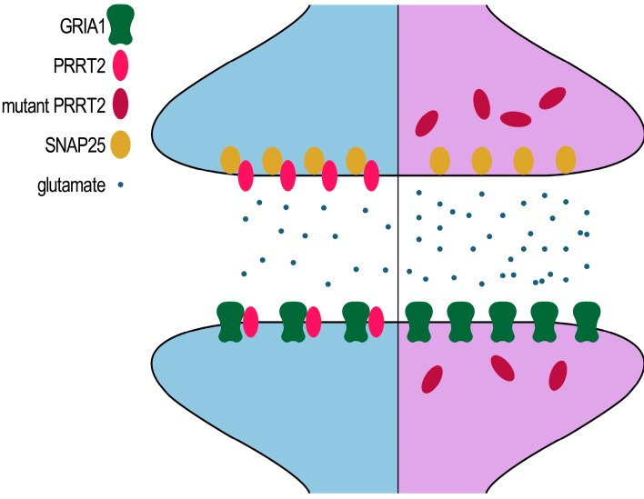 Schematic representation of mutant PRRT2 affecting the glutamate signaling pathway.