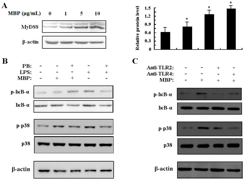 Effects of MBP on activation of NF-κB and p38 MAPK via TLR2 and TLR4. ( A ) RAW264.7 cells were treated with MBP (1, 5, 10 μg/mL) for 6 h. MyD88 expression was determined by Western blotting using whole cell lysates. MyD88 protein levels relative to the endogenous control β-actin were quantified and presented in bar graph. * p