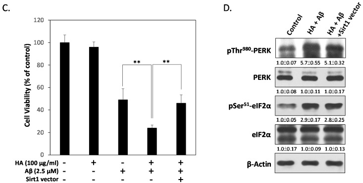 <t>Sirt1</t> protects neuronal cells from HA and Aβ-induced PGC1α suppression and cytotoxicity. ( A ) Western blotting assays showed the co-treatment of HA and Aβ inhibits expressions of Sirt1 and PGC1α. However, the addition of Salubrinal (50 μM) significantly blocked these inhibitions; ( B ) Sirt1 over-expression significantly restores HA and Aβ-inhibited PGC1α levels, ( C ) and contributes to a better survival rate in HA and Aβ co-treated cells; ( D ) Sirt1 over-expression failed to inhibit the levels of p-Thr980 PERK and p-Ser51 eIF2α in HA and Aβ co-treated cells, indicating that ER stress occurs upstream of Sirt1 down-regulation. All results are shown from three independent experiments, and values are presented as mean ± SEM. Significant differences were determined by using multiple comparisons of Dunnett's post-hoc test for ** p