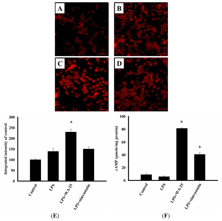 Effects of WA-25 and simvastatin on the expression of lysosome and cAMP level in RAW 264.7 murine macrophages induced by LPS. Cells were immunostained with anti-LAMP1 proteins. RAW 264.7 were incubated for 16 h with ( A ) the DMSO control; ( B ) LPS; ( C ) LPS + WA-25 (10 μM); or ( D ) LPS + simvastatin (10 μM); ( E ) The integrated intensity of immunofluorescent staining of LAMP-1 protein; ( F ) The cAMP level. Scale bar, 50 μm. These experiments were repeated three times, and images of at least six different fields were taken for analysis. *, significantly different from the LPS-stimulated group ( p