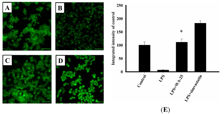 Effects of WA-25 or simvastatin on the expression of TGF-β1 in RAW 264.7 murine macrophages induced by LPS. Cells were immunostained with anti TGF-β1 proteins. RAW 264.7 were incubated for 16 h with ( A ) the DMSO control; ( B ) LPS; ( C ) LPS + WA-25 (10 μM); or ( D ) LPS and simvastatin (10 μM); ( E ) The integrated intensity of immunofluorescent staining of TGF-β1 protein. Scale bar, 50 μm. These experiments were repeated three times, and images of at least 6 different fields were taken for analysis. *, significantly different from the LPS-stimulated group ( p