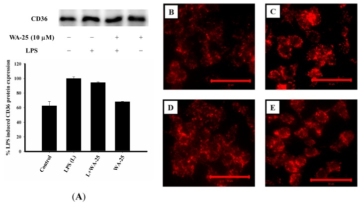 Effects of WA-25 on CD36 expression and LDL uptake in LPS-induced RAW 264.7 murine macrophages. ( A ) Western blots for CD36 and histogram showing the relative intensity; Cells were treated with LDL conjugated to DyLight™ 549 and incubated for 16 h with ( B ) DMSO (control); ( C ) LPS; ( D ) LPS + WA-25 (10 μM); or ( E ) WA-25 (10 μM). Scale bar, 30 μm. These experiments were repeated three times, and images of at least six different fields were taken for analysis.