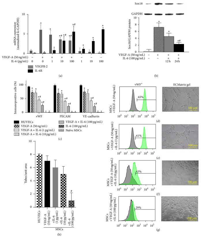 IL-6 negatively regulates EC differentiation: the effect of IL-6 on VEGF-A-stimulated differentiation of MSCs into ECs was examined. IL-6R and VEGFR-2 mRNA expression was analyzed by RT-PCR and normalized to GAPDH ( n = 3) (a). Sox18 protein levels were measured by Western blot analysis and normalized to GAPDH ( n = 3) (b). Expression of EC markers was determined by FACS analysis, and a representative grid is shown ( n = 3–6) ((c)–(g)). Endothelial tube formation was examined using an angiogenesis assay ( n = 3) ((d)–(h)). Experiments were performed with samples taken from independent BM-MSC cultures from separate microswine. HUVECs were excluded from statistical analyses. Data are shown as mean ± SD. ∗ p
