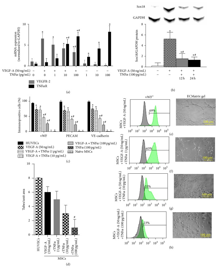 TNF α negatively regulates EC differentiation: the effect of TNF α on VEGF-A-stimulated differentiation of MSCs into ECs was examined. TNF α R and VEGFR-2 mRNA expression was analyzed by RT-PCR ( n = 3) (a). Sox18 protein levels were measured by Western blot analysis ( n = 3) (b). Expression of EC markers was determined by FACS analysis, and a representative grid is shown ( n = 3-4) ((c)–(g)). Endothelial tube formation was examined using an angiogenesis assay ( n = 3) ((d)–(h)). Experiments were performed with samples taken from independent BM-MSC cultures from separate microswine. HUVECs were excluded from statistical analyses. Data are shown as mean ± SD. ∗ p