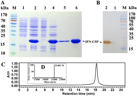 Characterization of recombinant protein by SDS-PAGE, western blot, RP-HPLC and MALDI-MS. a : Purification of IFN-CSP. Lane M: Protein molecular weight marker, Lane 1–2: Total proteins of E. coli BL21/pET-21b-IFN-CSP before and after induction, Lane 3–4: Supernatant and precipitation after ultrasonication and centrifugation. Lane 5: Purified IFN-CSP using trion and urea wash. Lane 6: Purified IFN-CSP using HiTrap affinity chromatography. b : IFN-CSP was analyzed by western blot. Lane M: Protein molecular weight marker. Lane 1–2: Total proteins of E. coli BL21/pET-21b-IFN-CSP before and after induction. c : Analysis of purified IFN-CSP by RP-HPLC with a C18 column. d : Mass spectrum of purified IFN-CSP recorded on an Applied Biosytems Voyager MALDI-TOF mass spectrometry