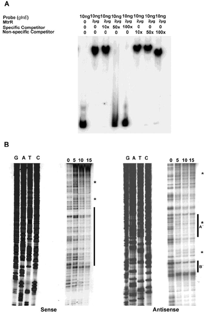 Identification of the MtrR-binding site in the glnE upstream DNA. ( A ) The binding specificity of MtrR for the DNA shown in Figure 1 was determined by competitive EMSA; ( B ) The MtrR-binding sites within this sequence were identified by DNase I protection assays that employed increasing amounts of purified MtrR-MBP (0, 5, 10, and 15 μg) with both sense and anti-sense probes. The protected regions on each probe are identified by the black bars and the two sites on the anti-sense strand are labeled as A′ and B′. Regions containing DNase I hypersensitive sites, which could contain more than one nucleotide, on the sense and antisense strands are denoted by *. The sequencing reactions for each probe are adjacent to the DNase I protection reactions and oriented G, A, T, C.