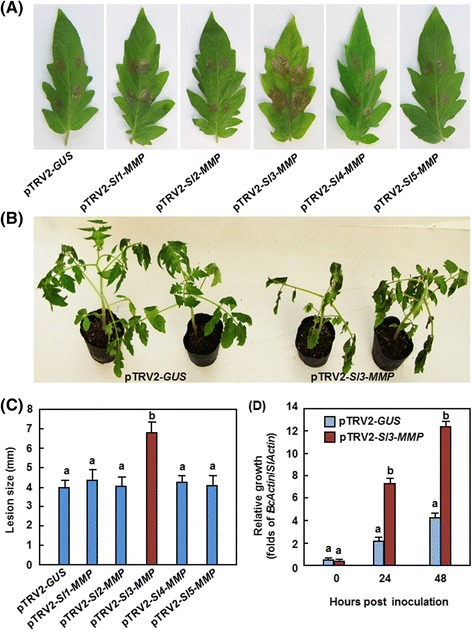 Silencing of Sl3-MMP resulted in reduced resistance to B. cinerea . Two-week-old seedlings were infiltrated with agrobacteria carrying pTRV2-Sl-MMP or pTRV2-GUS and were inoculated at 4 weeks after VIGS infiltration by dropping spore suspension (1 × 10 5 spores/mL) on detached leaves or foliar spraying with spore suspension (2 × 10 5 spores/mL) onto leaves of whole plants. a and b Disease phenotype and lesion sizes in leaves of the pTRV2-Sl-MMPs- and pTRV2-GUS-infiltrated plants in detached leaf inoculation assays. Lesion sizes were measured at 3 days after inoculation on a minimum of 20 leaves in each experiment. c and d Disease phenotype on and fungal growth in the pTRV2-Sl3-MMP- and pTRV2-GUS-infiltrated plants in whole plant inoculation assays. Fungal growth in planta was estimated by analyzing the transcript levels of BcActin gene by qRT-PCR using SlActin as an internal control at the indicated time points after inoculation. Data presented in b and d are the means ± SD from three independent experiments and different letters above the columns indicate significant differences at p