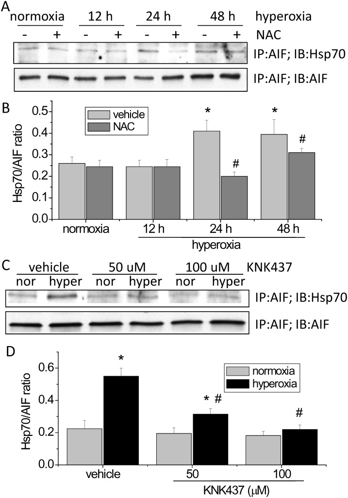 Hsp70/AIF interaction and the effects of NAC and KNK437 on the Hsp70/AIF interaction in hyperoxic PAECs. PAECs were exposed to normoxia (nor) and hyperoxia (hyper) in the absence and presence of NAC (5 mM) or KNK437 (50–100 μM) for 48 h after which co-immunoprecipitations of Hsp70 and AIF in the cytosolic fraction of cell lysates were performed. (A and C) Representative immunoblots of Hsp70 and AIF. (B and D) Bar graph depicting the changes in Hsp70/AIF ratio. Results are expressed as mean ± SE; n = 4. * P