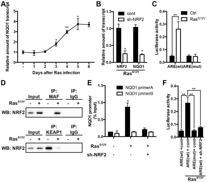 NRF2/KEAP1 signaling regulates NQO1 expression during OIS. (A) NQO1 transcript levels at the various time points in Ras G12V -induced senescent 2BS cells were analyzed by qRT-PCR. Levels are represented relative to those found in control-infected cells as mean ± SD (n=3). (B) 2BS cells stably expressing shRNAs against NRF2 upon exposure to Ras G12V for 5d were analyzed for NRF2 and NQO1 transcript levels by qRT-PCR. Levels are represented relative to those found in control-infected cells as mean ± SD (n=3) (*p
