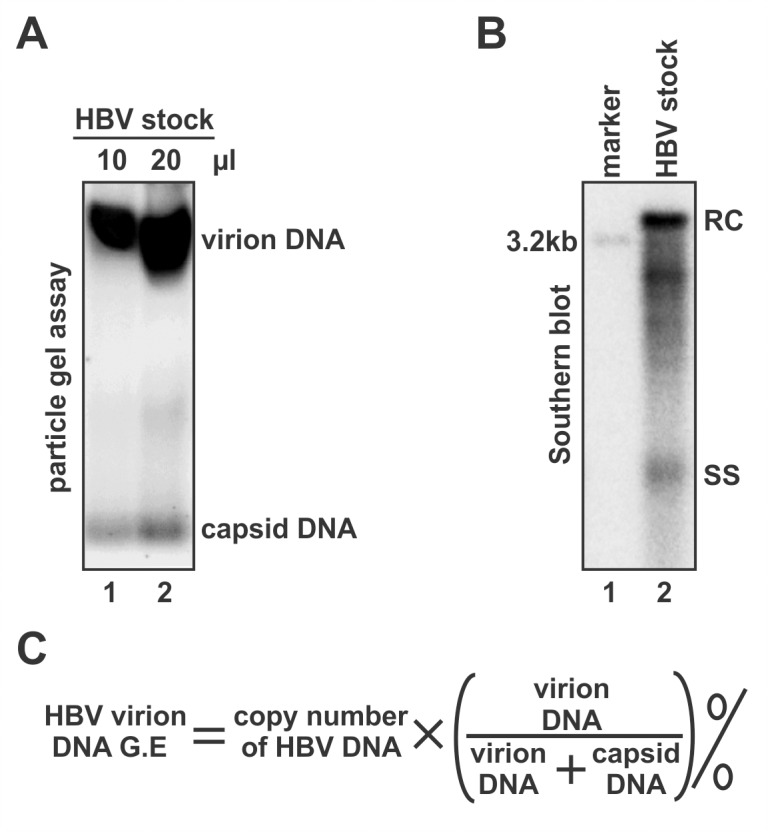 Quantification of the genome equivalent of HBV virion DNA in concentrated HBV particles. (A) HBV virions and naked capsids in the indicated volume of virus stock were separated by native agarose gel electrophoresis, and viral DNA was detected by hybridization. The virion DNA to capsid DNA ratio was calculated by ImageQuant IQTL software using the hybridization signal intensity. (B) HBV DNA were extracted from 10 μl of virus stock and subjected to Southern blot analysis, 100 pg of 3.2 kb HBV linear DNA (approximately 3.1×10 7 HBV DNA copies quantified by qPCR) served as loading marker. HBV DNA replicative intermediates, including relaxed circular (RC) DNA and single stranded (SS) DNA were labeled. The copy number of total HBV DNA was quantified by using the HBV DNA loading marker as standard. (C) Formula for calculation of HBV virion DNA genome equivalent (v.g.e).