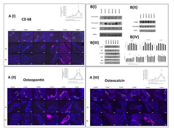 Macrophages osteoblast markers and intracellular pathways in early phases of calcification. (A) Immunostaining of CD68 (I), osteopontin (II), and osteocalcin (III) were positive in the valve annulus (An) and leaflets (Le) after 2 weeks on the nephropathic diet. (B) Western blot analysis (n = 3 in each group) of osteocalcin, osteopontin, and Runx-2 (I), and of the ratio of phosphorylated ERK to ERK-1(II). There were no changes in the expression Akt, JNK, or p38 pathways (III). Graphic presentation of Western blot analysis (IV).
