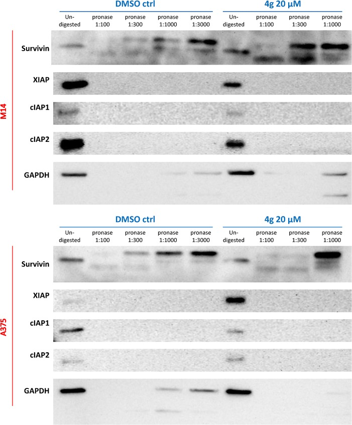 Representative drug affinity responsive target stability (DARTS) results for pronase-digested A375 or M14 cell lysates. Immunoblotting showed protection of the target protein, survivin, by incubation with compound 4g at the concentration of 20 μM, whereas digestion of the non-target proteins like GAPDH was unchanged.