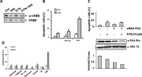 PKA is not involved in GTN/H89-induced apoptosis (A) Immunoblot analysis of CREB and its phosphorylated form in SW480 cells exposed to 10 μM GTN and 10 μM H89 for 48 h. The immunoblot shown is representative of 3 independent experiments. (B) Exponentially growing SW480 cells (3 × 10 5 /mL) were treated with 10 μM GTN and/or 10 μM H89 or 1 μM KT5720 for 48 h at 37°C. Apoptotic cells were counted after Hoechst 33342 staining. (C) Cells were transfected with a PKA-specific siRNA (20 μM) for 6 h then treated with 10 μM GTN for 48 h at 37°C. Then apoptotic cells were counted. Results are the means of 3 independent experiments. Total protein was isolated and analyzed by immunoblot for expression of PKA-RIα, the active subunit of PKA, quantified relative to HSC70 expression. One immunoblot representative of 3 independent experiments is shown. (D) SW480 cells were treated with the following protein kinase inhibitors 1 h before exposure to 10 μM GTN: 20 μM SB203580, 15 μM PD98059, 1 nM rapamycin, 10 μM Y27632, and 10 μM H89. 'All' refers to treatment with all inhibitors except H89. Apoptotic cells were counted. Results are the means of 3 independent experiments.