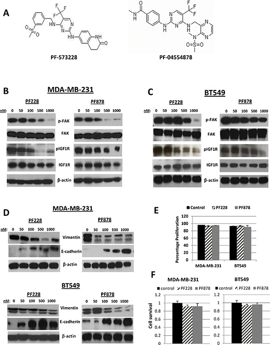 Effects of FAK-specific inhibitors on IGF1R activity, invasion, and EMT-related protein expression in TNBC cells (A) Chemical structures of two FAK tyrosine kinase inhibitors, PF-573228 and PF-04554878. The expression of pFAK, FAK, pIGF1R, and IGF1R were assessed via immunoblotting analysis in (B) MDA-MB-231 and (C) BT549 TNBC cells following treatments with indicated doses of PF228 and PF878 for 24 h. (D) Vimentin and E-cadherin expressions examined via Western blotting following treatments as indicated above. β-actin served as a loading control. (E) MDA-MB-231 and BT549 cells were treated with 0.5 μM PF228 or 0.5 μM PF878 for 24 h. Cells were counted by trypan blue exclusion; data represented as a percentage of the vehicle treated (DMSO) control groups. The results represent the average of triplicated treatment groups performed at least three times with reproducible results. (F) Cell lines were treated with 0.5 μM PF228 or 0.5 μM PF878 for 24 h and the effects on cell survival was measured by SRB assays. The data represent mean growth inhibition compared to vehicle treated (DMSO) control cells for three independent experiments for each cell line.