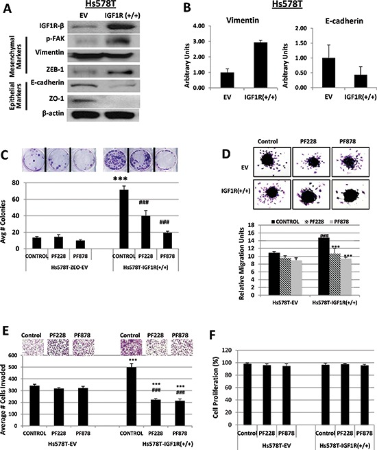 Inhibition of FAK abrogates IGF1R-mediated colony formation, migration, and invasion in TNBC cells (A) Lysates of Hs578T TNBC cells stably expressing empty vector (EV) control or IGF1R-β expression plasmid (IGF1R +/+) were immunoblotted with specific antibodies for IGF1R-β, p-FAK, Vimentin, ZEB-1, E-cadherin, ZO-1, and β-actin loading control. (B) Relative mRNA expression levels of Vimentin and E-cadherin in EV and IGF1R(+/+) TNBC cell lines were detected as described above. Data are displayed in means ± S.D. of at least three independent experiments of each group. (C) Colony formation, (D) spheroid migration, and (E) Matrigel invasion assays were performed as described above on Hs578T TNBC cells expressing either empty vector (EV) control or overexpressing full-length IGF1R-β (IGF1R +/+) followed by treatments with DMSO (control), 0.5 μM PF228, or 0.5 μM PF878 for 24 h. *** p