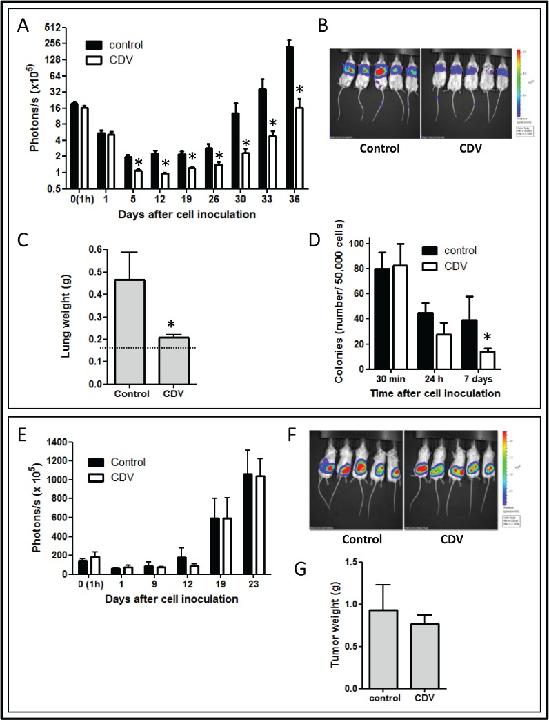 Overexpression of galetin-3 in lung CSCs (A) The mRNA levels of galectins (Gal) in first and secondary passages of H1299 spheres were detected by RT-qPCR and normalized against mRNA levels of monolayers. (B) The mRNA levels of galectin-3 in NSCLC spheres compared to that in monolayers were detected by RT-qPCR. (C) Galectin-3 (Gal-3) was knocked down in H1299 cell line by lentiviral shGal-3 infection. Luciferase shRNA lentivirus (shLuc) was used as a control. The expression levels of galectin-3 were detected using RT-qPCR and Western blotting. (D) The mRNA levels of stemness-associated genes in monolayers (shLuc monolayer), spheres (shLuc sphere), or shGal-3-infected spheres (shGal-3 sphere) were detected by RT-qPCR. (E) shLacZ- or shGal-3-infected H1299 monolayers or spheres were cotransfected with pGL4-Oct4-luc, pGL4-Sox2-luc or pGL4-Nanog-luc, and pRL-SV40. After 48 h, luciferase reporter assays was conducted to investigate Oct4, Sox2, or Nanog promoter activity regulated by galectin-3. (F) The protein levels of Oct4, Sox2, and Nanog in shLuc- or shGal-3-infected H1299 spheres were detected by using flow cytometry. (G) H1299 cells from shLuc- or shGal-3-infected H1299 spheres were analyzed for CD44/CD133 double staining by flow cytometry. Control: isotype control. Data represents the mean ± SD of at least 3 independent experiments, * p
