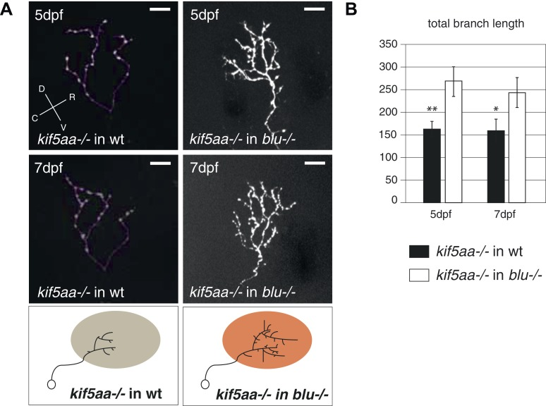 Transplantation of kif5aa mutant RGCs into a blumenkohl mutant acceptor leads to an increased growth compared to transplantation into a wild-type acceptor. ( A ) Representative pictures of single in vivo imaged RGC axons after blastula stage transplantions from kif5aa mutant donors into a wild-type tectum (left panel) and from kif5aa mutants into a blumenkohl mutant tectum (right panel). The same cell was analyzed at 5 dpf (upper panel) and 7 dpf (middle panel). Scale bars = 20 μm. Schematics of RGC arbor complexity and size in the lower panel. In orange: Ntf3 overexpressing blumenkohl mutant tectum. D = dorsal, V = ventral, R = rostral, C = caudal. Pictures in the left panel are identical to Figure 8 . ( B ) Quantification of total branch length of transplanted RGC axons at 5 and 7 dpf. The reduced size of kif5aa mutant axonal arbors when growing into a wild-type tectum is partially rescued when transplanted into a blumenkohl mutant environment (p