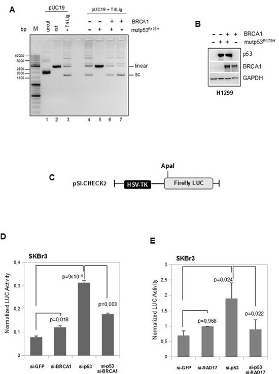 BRCA1 expression counteracts mutant p53 GOF activity on DNA repair assay (A) Comparison of ligation products of 5′-cohesive-ended linear DNA in the presence of T4 DNA ligase alone (lane 3) or following pre-incubation with whole protein extracts derived from H1299 cells transfected with mutp53R175H and BRCA1 expressing vectors in separate reactions (lanes 5 and 7, respectively) or in co-trasfection conditions (lane 6). (B) Whole protein extracts (40 μg) used in the T4 DNA ligase assay previously described were subjected to Western blot analysis and probed with the indicated antibodies. (C-E) SKBr3 cells were transiently transfected with ApaI-linearized pSI-CHECK2 vector (c) and with either siRNA oligos indicated in the figures (d) and (e). After 48 h from the transfection the cells were harvested and the functional changes in NHEJ were assessed measuring the Firefly Luciferase activity. Luciferase activity was expressed as (Firefly/protein amount) × (1/Renilla). Columns , means from two independent assays each of them was done in triplicate; bars , SD. P -values were calculated with two tailed t-test. Statistically significant results were with p -value