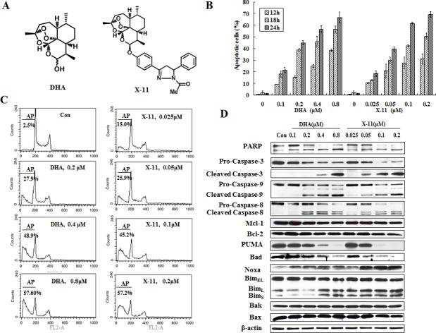 X-11 is more potent than DHA in apoptosis induction in HL-60 cells (A), chemical structures of DHA and X-11. (B), dose- and time-dependent apoptosis induction in HL-60 cells. Cells were treated with DHA and X-11 at the indicated concentrations for 12, 18 and 24 h. Percentages of apoptotic cells were determined based on morphological changes using a fluorescence microscope after staining with AO and EB. (C), percent of apoptotic HL-60 cells treated with DHA and X-11 for 24 h at the indicated concentrations. Apoptosis measured using staining with PI followed by FACS analysis and identification of the SubG1 population. AP, apoptotic cells; Con, control. (D), Western blot analyses of apoptosis-related proteins in HL-60 cells treated with DHA and X-11 for 24 h at the indicated concentrations. The relative levels of the proteins were determined by probing with specific antibodies. β-actin served as loading control.