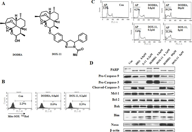 At low concentrations of DHA/X-11, an endoperoxide bridge is required for apoptosis induction (A), the chemical structures of DODHA and DOX-11 with the endoperoxide moiety containing only one oxygen. (B), the levels of O 2 − in HL-60 cells treated with DODHA/DOX-11. HL-60 cells untreated or treated with 0.8 μM DODHA or 0.2 μM DOX-11 for 15 h were used to determine the intracellular O 2 − content using MitoSOX TM Red by FACS. (C D), DODHA/DOX-11-induced apoptosis and protein changes. HL-60 cells were treated with DODHA, DOX-11, DHA or X-11 at the indicated concentrations for 24 h. The apoptotic cells were stained with PI and analyzed by FACS (C) and the levels of apoptosis related proteins were determined by Western blot analysis using specific antibodies (D).