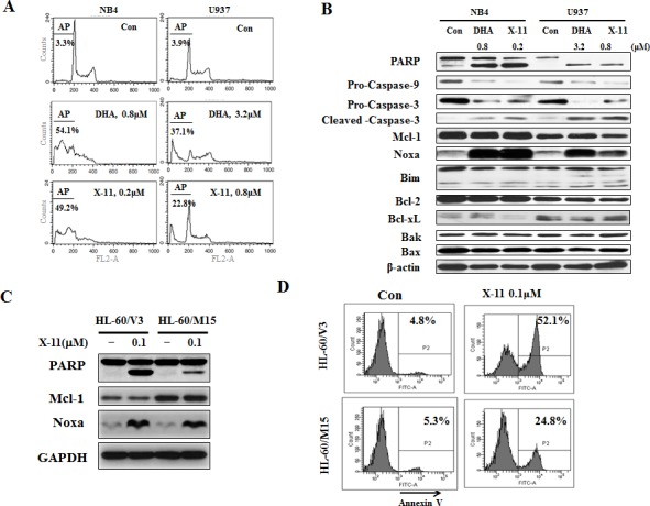 Induction of apoptosis by DHA/X-11 in AML cells with different levels of Bcl-xL and Mcl-1 NB4 and U937 cells were treated with DHA/X-11 at the indicated concentrations for 24 h. The apoptotic cells were determined by <t>PI/FACS</t> (A) and the protein levels were determined using Western blot analysis (B). HL60/M15 and HL60/V3 cells were treated with X-11 at 0.1 μM for 24 h and their extracts were used to measure the protein levels of Noxa and Mcl-1 with Western blotting (C) and the intact cells for percent of apoptosis by FACS after staining with <t>annexin</t> V (D).