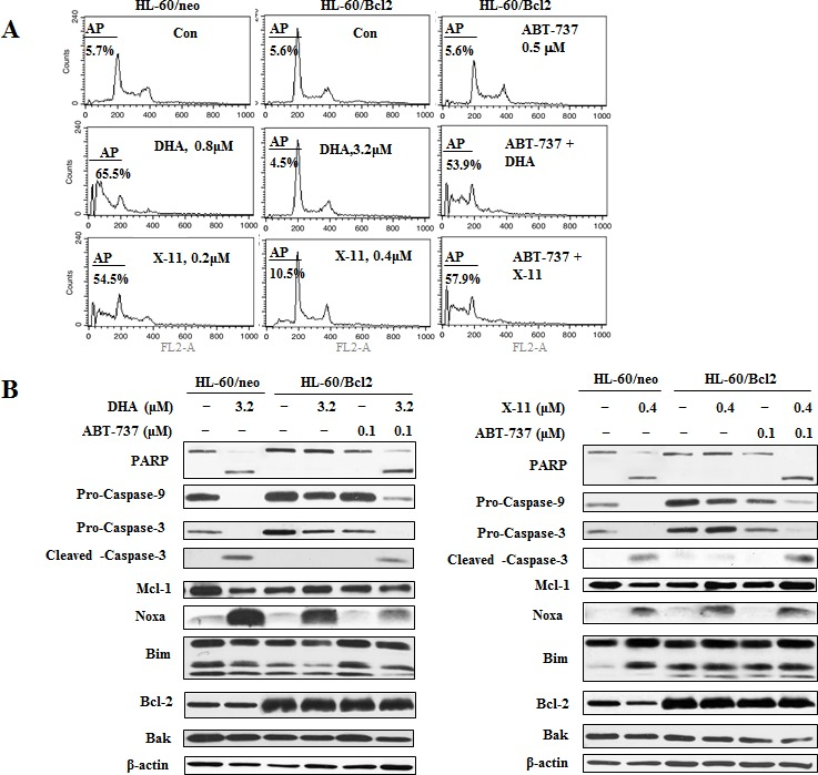 The combined effects of DHA/X-11 with ABT-737 in HL-60 cells which overexpress Bcl-2 HL-60/neo cells, (transfected with an empty vector), and HL-60/Bcl2, (transfected with a Bcl-2 expression vector), were treated with either DHA and X-11 alone or in combination with ABT-737 for 24 h. Percentages of apoptotic cells were determined using FACS after staining with PI (A) and the apoptosis related proteins were measured by Western blot analysis (B).