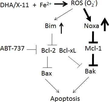 A working model of DHA and X-11 apoptosis induction in AML cells DHA or X-11 interacts with iron to produce ROS (O 2 − ) through the endoperoxide moiety, which strongly upregulates Noxa and weakly upregulates Bim. The induced Noxa protein binds to Mcl-1 and then leads to Bak activation. The anti-apoptotic effect of Bcl-2 is antagonized by basal and induced levels of Bim. ABT-737 combined with DHA synergistically induces apoptosis in AML cells due to respective inhibition of Bcl-2/Bcl-xL and Mcl-1.