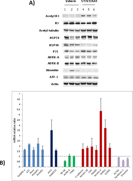 Effect of ST7612AA1 on key molecular targets in colon cancer A) Western Blot analysis for assessing the degree of acetylation of histone H3 and tubulin, and for evaluating the expression levels of various target proteins in HCT-116 tumor xenografts collected 24 hours after the last treatment with 80 mg/10 mL/kg ST7612AA1 (lanes 4-6) once daily, according to the schedule qdx5/wx3w, with respect to vehicle-treated animals (lanes 1-3). Actin is shown as a control for protein loading. Representative blots of tumor samples from 3 animals/group are shown. B) Real-time qPCR analysis of ST7612-induced gene changes in HCT-116 tumor xenografts collected as above described. Data are normalized to cyclophilin A and presented as fold change (average ± s.d.) over the vehicle-treated control mice (n=3 animals/group). Sybr Green-based q-PCR analysis was performed using the primer set shown in Suppl. Table 3 .
