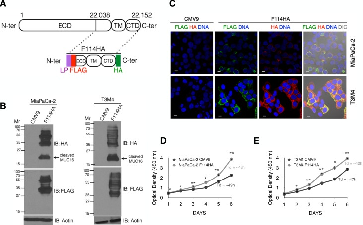 Oncotarget   Synergistic combination of DT-13 and