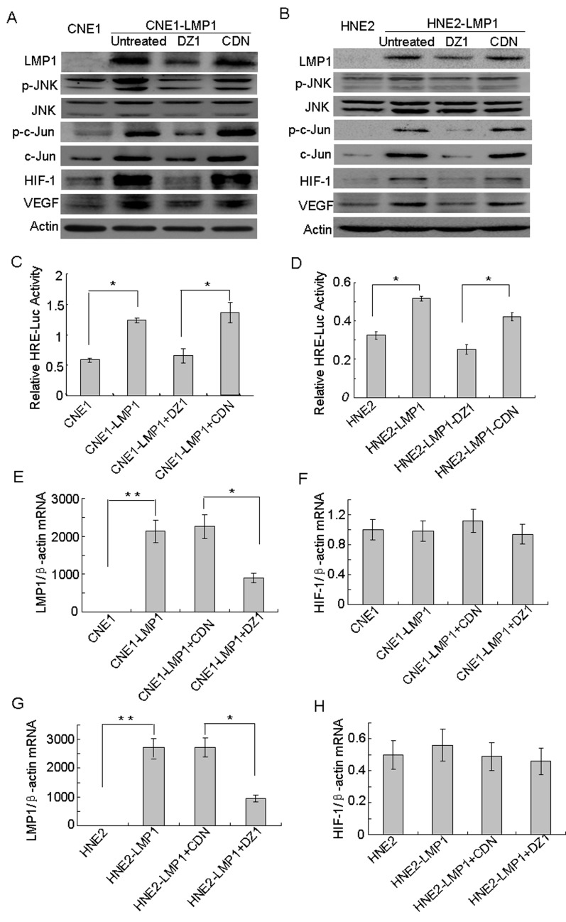 The JNKs/c-Jun signaling pathway is involved in LMP1-induced HIF-1 and VEGF expression Cells were treated with DZ1 or CDN and 400 μM CoCl 2  for 24 h. (A,B) Western blotting was performed to analyze the expression of LMP1 and its downstream targets, including phosphorylated JNKs, JNKs, c-Jun, phosphorylated c-Jun, HIF-1 and VEGF in CNE1/CNE1-LMP1 cells and HNE2/HNE21-LMP1 cells. (C, D) HIF-1 activity levels were examined in these cells using the  HRE  reporter gene assay. Data were expressed as the means ± S.D. of three experiments. (E, F, G, H) Quantitative RT-PCR was used to analyze the mRNA expression of  LMP1  and  HIF-1  in CNE1/CNE1-LMP1 cells and HNE2/HNE2-LMP1 cells. The asterisk (* or **) indicates a significant (p