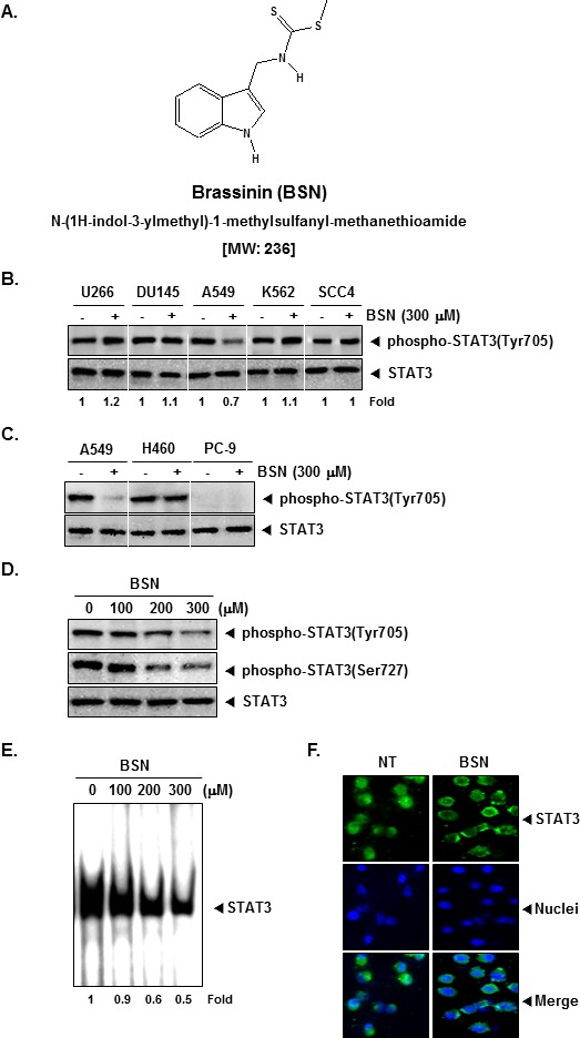 BSN inhibits constitutively active STAT3 in A549 cells (A) The chemical structure of brassinin (BSN). (B) U266, DU145, A549, K562, and SCC4 cells (1 × 10 6 cells/well) were treated with 300 μM of BSN for 4 h. Whole-cell extracts were prepared and immunoblotted with antibodies for phospho-STAT3 (Tyr705) and STAT3. (C) A549, H460, and PC-9 cells (1 × 10 6 cells/well) were treated with 300 μM of BSN for 4 h. Whole-cell extracts were prepared and immunoblotted with antibodies for phospho-STAT3 (Tyr705) and STAT3. (D) A549 cells (1 × 10 6 cells/well) were treated with the indicated concentrations of BSN for 4 h. Whole-cell extracts were prepared and immunoblotted with antibodies for phospho-STAT3 (Tyr705), phospho-STAT3 (Ser727), and STAT3. (E) A549 cells (1 × 10 6 cells/well) were treated with the indicated concentrations of BSN for 4 h and analyzed for nuclear STAT3 levels by EMSA. (F) BSN causes inhibition of translocation of STAT3 to the nucleus. A549 cells (4 × 10 4 cells/well) were incubated with or without 300 μM BSN for 4h and then analyzed for the intracellular distribution of STAT3 by immunocytochemistry. The results shown here are representative of three independent experiments.