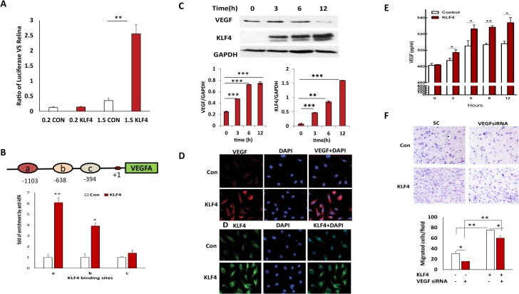 KLF4 transcriptionally activates VEGF expression. A. Luciferase reporter assays were performed to assess KLF4 activation of the VEGF promoter. Luciferase activities in KLF4 expressing and control HRMECs were measured at 24h after transfection with 1.5kb and 0.2kbVEGF promoter luciferase constructs in serum-free conditions. Data were presented as the mean ± SE from three independent experiments. Significance of luciferase activity was found between KLF4 expressing and control cells when 1.5Kb VEGF promoter was transfected in both cells (**p