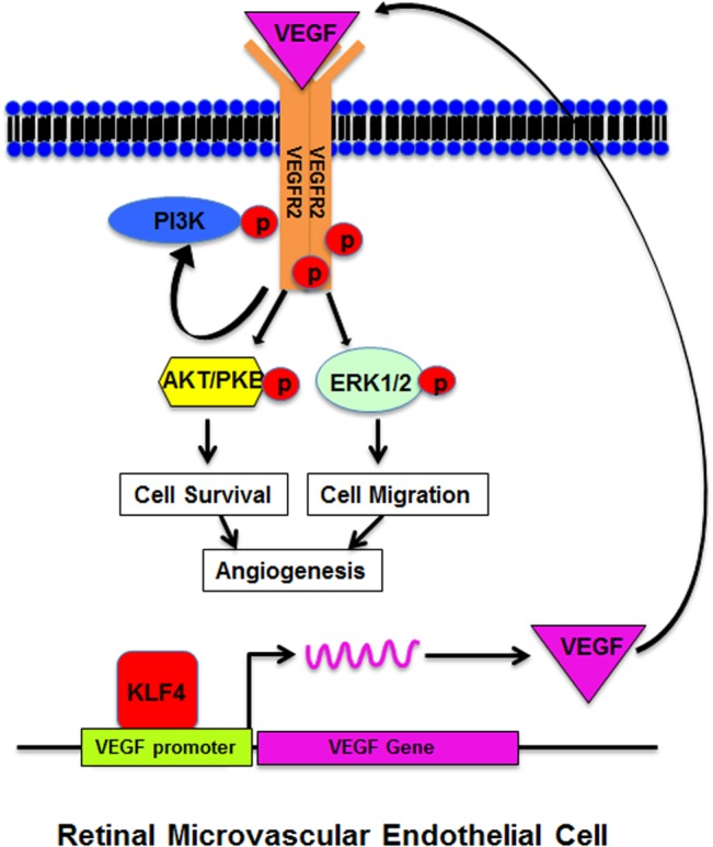 Schematic diagram of KLF4 mediated VEGF signaling pathway. KLF4 binds to the VEGF promoter and induces VEGF expression, subsequently phosphorylates VEGFR2 and activates downstream ERK1/2 and AKT to promote cell proliferation, migration and angiogenesis.