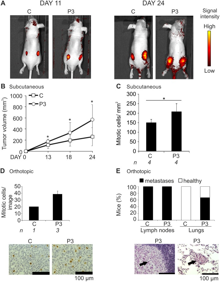 Pim-3 overexpression promotes metastatic growth of prostate tumor xenografts. PC-3-derived cell lines that had been stably transfected with an empty vector (C) or a vector expressing Pim-3 (P3) were subcutaneously or orthotopically injected into athymic nude mice. Tumors and isolated tissues were stained with Hematoxylin and Eosin for visualization of their structure. Additional stainings were carried out with anti-phospho-histone H3 antibody to visualize the number of mitotic cells. In the subcutaneous experiments, tumor formation was followed by fluorescence imaging of Tomato expression (A) and approximate tumor sizes were measured by palpation at different time-points (B). After 24 days, mice were sacrificed and their tumors and tissues were collected. Shown are average values from all fully imaged tumor sections from indicated numbers ( n ) of mice after staining of mitotic cells (C). In the orthotopic experiments, the stable PC-3 cells were allowed to grow in the prostates for three weeks. Thereafter mitotic cells (brown) were analysed from sample images (D), while metastases (indicated by arrows) were counted from prostate-draining lymph nodes and lungs (E).