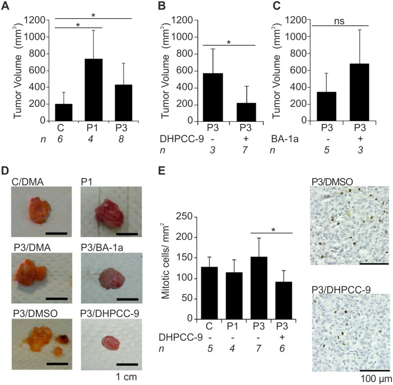 Pim overexpression increases and Pim inhibition by DHPCC-9 decreases growth of orthotopic prostate xenografts. PC-3-derived stably transfected cells (Mock = C, Pim-1 = P1, Pim-3 = P3) were orthotopically inoculated into the prostates of athymic nude mice. Mice were treated daily with either DMSO or DMA (control treatments) or with Pim inhibitors (50 mg/kg of DHPCC9 in DMSO or 20 mg/kg of BA-1a in DMA). After three weeks of treatments, mice were sacrificed and their tumor volumes were measured. First the volumes were compared between indicated numbers ( n ) of mice without inhibitor treatments (A). Then the volumes of tumors derived from inhibitor-treated animals were compared to tumors from animals with appropriate control treatments DMSO (B) or DMA (C). Before tumor fixation, representative images were taken (D). Later on paraffin-embedded tumor sections were stained with anti-phospho-histone H3 antibody to visualize mitotic cells (brown). Shown are average values combined from all fully imaged tumor tissue sections from DHPCC-9-treated and DMSO- or DMA-treated control groups as well as representative images from Pim-3-overexpressing tumors (E).