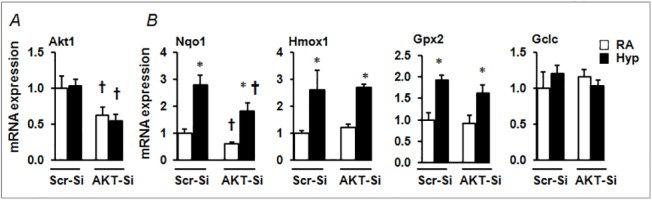 Hyperoxia-induced Nrf2-target gene expression in <t>AKT1-depleted</t> cells. (A) qRT-PCR analysis of hyperoxia-induced Nrf2-target gene expression in cells transfected with either scrambled <t>siRNA</t> (Scr-Si) or AKT1 siRNA. (A) Expression of AKT1 was calculated relative to Scr-Si-transfected room air-exposed samples. (B) Nrf2-target gene expression was calculated relative to Scr-Si-transfected room air-exposed samples. Values from the Scr-si transfected cells exposed to room air are considered as one unit. p ≤ 0.05, room air (RA) vs. hyperoxia (hyp); † p ≤ 0.05, Scr siRNA vs AKT1-siRNA. Data are expressed as mean ± SEM (n = 3–4).