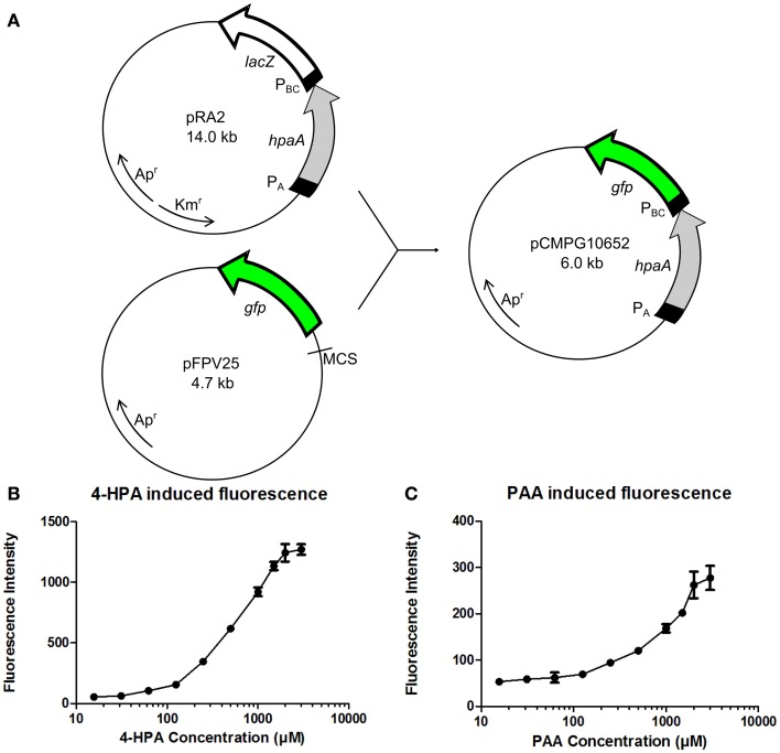 (A) Construction of plasmid pCMPG10652. Constitutive promoter P A , gene hpaA , and 4-Hydroxyphenylacetic acid (4-HPA) responsive promoter P BC were copied from plasmid pRA 2 (Prieto and García, 1997 ) and placed in plasmid pFPV25 (Valdivia and Falkow, 1996 ), upstream of gene gfp . This yields GFP production controlled by 4-HPA and 2-Phenylacetic Acid (PAA) concentrations, detected by HpaA. (B) Fluorescence measurements of GFP production of strain pCMPG10652/ E. coli TOP10 in response to a range of 4-HPA concentrations. (C) Fluorescence measurements of GFP production of strain pCMPG10652/ E. coli TOP10 in response to a range of PAA concentrations. Auxin concentrations used in fluorescence measurements: 3 mM, 2 mM, 1.5 mM, 1 mM, 500 μM, 250 μM, 125 μM, 62 μM, 31.25 μM, 15.625 μM, and 0M. n = 8 per measured concentration.