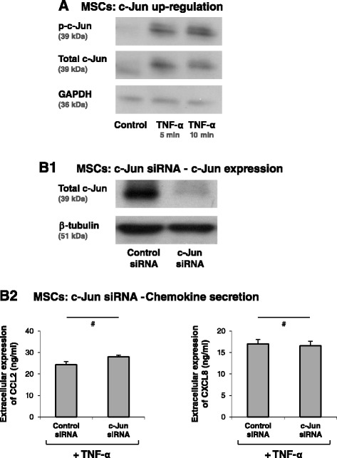 Induction of CCL2 and CLXL8 in TNFα-stimulated MSCs is not mediated via the AP-1 pathway. (A) Human BM-derived MSCs were stimulated by <t>TNF-α</t> (50 ng/ml) for 5 and 10 minutes. Control cells were treated by the vehicle of TNF-α. c-Jun levels and phosphorylation were determined by western blot (WB) analyses. Glyceraldehyde 3-phosphate dehydrogenase (GAPDH) was used as loading control. (B) Human BM-derived MSCs were transiently transfected by small interfering <t>RNA</t> (siRNA) to c-Jun or by control siRNA. (B1) c-Jun expression was determined by WB analyses. β-Tubulin was used as loading control. (B2) Following siRNA transfection, the cells were stimulated by TNF-α (25 ng/ml; in this part of the study we used a suboptimal concentration of TNF-α in order to facilitate detection of inhibitory effects) for 24 hours. Expression levels of CCL2 and CXCL8 in the supernatants of the cells were determined by ELISA, in the linear range of absorbance. # siRNA to c-Jun has yielded minor increases or reductions in CCL2 and CXCL8 secretion in different experiments (see Results and discussion), and thus overall there was no significant effect on CCL2 and CXCL8 secretion. In all panels, the findings are representatives of n = 3 independent experiments that have shown similar results.