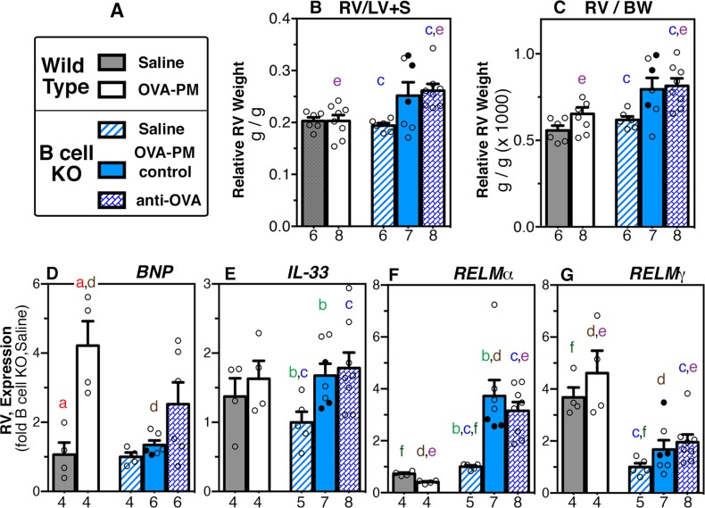 Right ventricular (RV) weight and RV-gene expression. Groups of wild type and B cell KO mice challenged with saline or OVA-PM were analyzed. Groups of OVA-PM challenged B cell KO mice were either controls [injected with control antibody (open circles) or given no injections (filled circles)] or injected with anti-OVA IgG1 antibody. (A) Legend. (B-G) Bar graphs show mean ± SEM and individual data for right ventricular weight calculated relative to (B) the weight of the left ventricle and septum (RV/LV+S), or (C) body weight (RV/BW); and gene expression in the right ventricle of [BNP (D) , IL-33 (E) , RELMα (F) , RELMγ (G) ]. Gene expression in the lungs is shown as fold-increase over the means of the wild type saline group. Pairs of letters above the bars indicate the pairs of groups that showed significant differences (p
