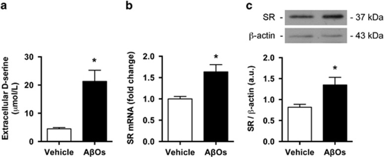 Amyloid-β oligomers (AβOs) increase d -serine and serine racemase (SR) levels in hippocampal cultures. Primary rat hippocampal neuronal cultures were exposed to 500 n M AβOs or vehicle (2% dimethyl sulfoxide in phosphate-buffered saline) for 24 h. ( a ) AβOs increased extracellular levels of d -serine. ( b and c ) AβOs increased total levels of SR messenger RNA (mRNA) ( b ) and protein ( c ). d -serine was measured by high-performance liquid chromatography and its values were corrected by total protein content in the analyzed samples. SR protein levels were detected by western blotting, using β-actin as a loading control. * P