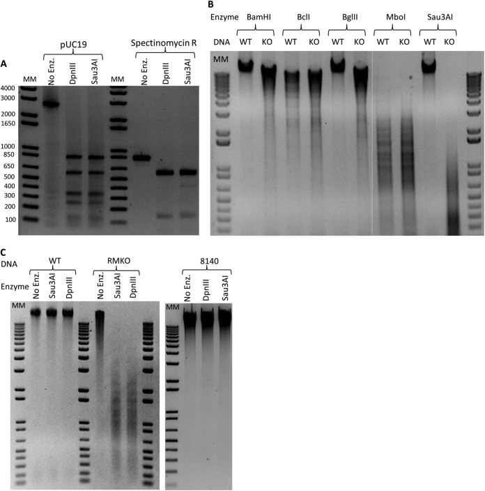 Characterization of (R-M system) DpnIII demonstrating that R.DpnIII cleaves DNA at 5′ GATC 3′ and M.DpnIII methylates DNA at the cytosine. (A) Digestion of pUC19 and spectinomycin R with a histidine-tagged DpnIII-enriched fraction and Sau3AI, showing bands consistent with digestion at GATC. (B) Genomic DNA isolated from the WT and RMKO strains combined with endonucleases that cleave at GATC but are inhibited by methylation at different positions (cleavage by BamHI, BglII, and Sau3AI is inhibited by methylation of the cytosine, and cleavage by BclI and MboI is inhibited by methylation of the adenine). (C) WT and RMKO DNA mixed with Sau3AI and histidine-tagged DpnIII, where only the RMKO is susceptible to digestion. Further, WT DNA of strain 8140 is protected by digestion with Sau3AI and DpnIII. Enz., enzyme; MM, mass markers. The values to the left of panel A are molecular masses in base pairs.
