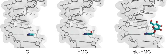 DNA modification in phage T4 showing C-containing DNA (left), HMC-containing DNA (middle), and glc-HMC DNA (right).