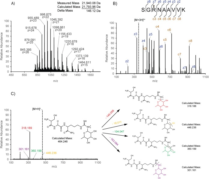 Mass spectrometry characterization of rhamnosylated EF-P. (A) A mass spectrum of His6–EF-P protein, recorded on a <t>7T</t> <t>FT-ICR</t> instrument, from which protein molecular masses were calculated. (B) Lys-C-digested peptide fragmented by ETD maps the additional mass of 146.057 Da on Arg32. The precursor ion, m / z 349.865, is indicated by a dashed line. (C) A proposed fragmentation pattern based on ETD-HCD MS 3 data from the c3 + ion. The neutral losses are colored uniquely to associate the fragment ion with the hypothetical structure. The asterisk indicates a background ion. The precursor ion, m / z 464.246, is indicated by a dashed line.